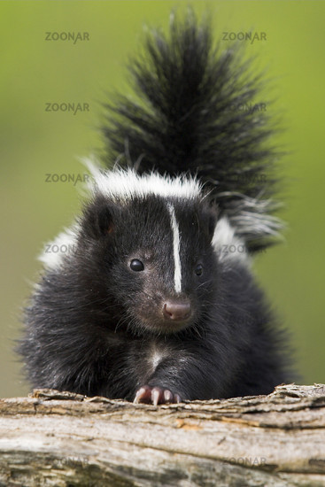 Skunk, Skunk, Mephitis mephitis, Striped Skunks, Minnesota, USA, cub, young animal, skunk