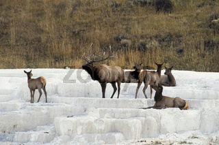 Wapiti, Cervus elaphus, Elk, Kalksinterrassen bei Mammoth Hot Spring, Yellowstone NP, USA