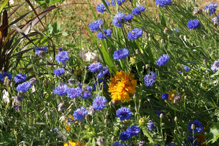 Centaurea cyanus, Kornblume, Cornflower
