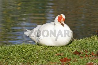 Warzenente, muscovy duck, cairina moschata