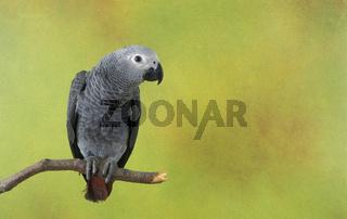 African Gray Parrots, Psittacus erithacus, Graupapageien, graupapagei, parrot, parrots, petbird, petbirds, ziervogel, ziervoegel