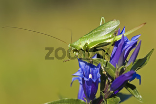 Heupferd/ grasshopper on a blue flower