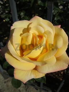 Rosa, Edelrose Gloria Dei