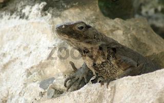 iguana - leguan - wildlife