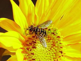 Schwebfliege auf einer Sonnenblume