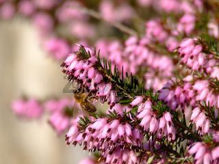 Erika, Erica mit Biene