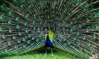 pfau, blauer pfau, pavo cristatus, indian peafowl, blue peafowl, common peacock, common peafowl, indian peacock, peafowl