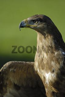 Steppenadler, Steppe Eagle (Aquila nipalensis)