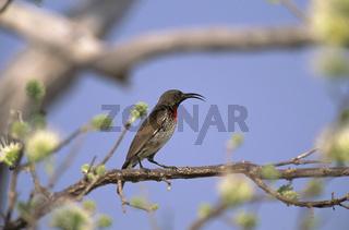 rotbrust-glanzkoepfchen, rotbrustnektarvogel, nectarinia senegalensis, Chalcomitra senegalensis, scarlet-chested sunbird