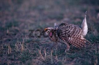 schweifhuhn, Schweifwaldhuhn, Spitzschwanzhuhn, tympanuchus phasianellus, Pedioecetes phasianellus, sharp-tailed grouse, Northern sharp-tailed grouse