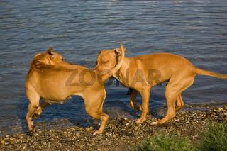 Two Rednose Pitbull Terrier in Love