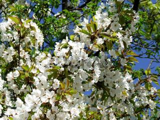 Prunus avium, Süßkirsche, Cherry