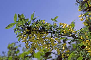 Laburnum alpinum, Alpen-Goldregen