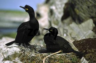 kraehenscharbe, phalacrocorax aristotelis, european shag, common shag, european shag, green cormorant, green shag, shag