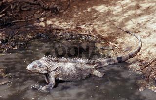 Gruener Leguan