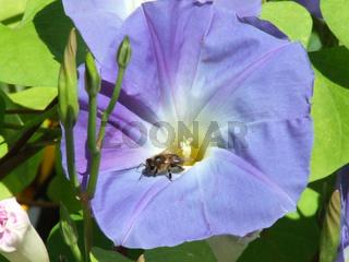 Ipomoea tricolor, Trichterwinde, Morning jewel