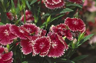 Dianthus chinensis 'Parfait Rapsberry' Nelke