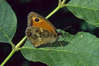 Pyronia tithonus, Maniola tithonus, Braungerändertes Ochsenauge