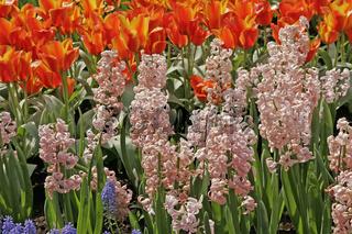 Hyacinthus 'Lady Derby'