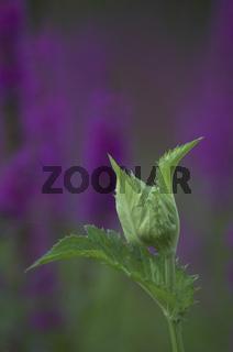 kohl-kratzdistel, cirsium oleraceum, kohldistel, cabage thistle, cirse maraicher, thistle col