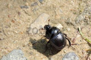 Mistkäfer/ dung beetle