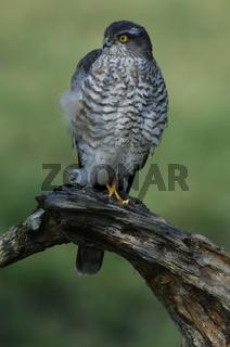 Sperbermaennchen, Accipiter nisus, male Northern Sparrow Hawk, terzel, baden Wuerttemberg, Deutschland, Germany