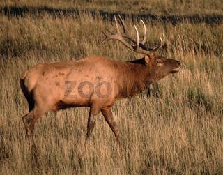 Wapiti, Cervus elaphus, Elk, Wapitihirsch, Nordamerika, North America