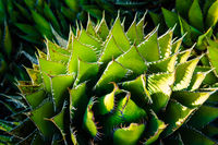 Desert Aloe Vera Plant with Dramatic Spines