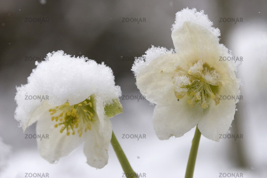 Christmas rose covered with snow
