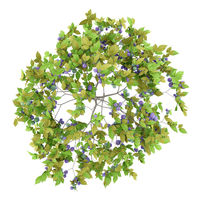top view of plum tree with plums isolated on white background