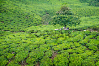 Tree in Tea Plantation in Cameron Highlands
