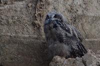 well camouflaged... Eurasian Eagle Owl *Bubo bubo*
