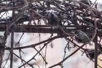 Many common european starling birds on grape vine while snowfall