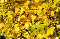 Yellow poplar leaves