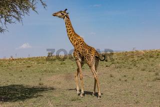 Giraffe im Tarangire  Nationalpark