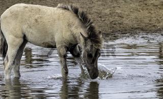 Fohlen im Wasser, planschend, wild lebende Pferde im Merfelder Bruch, Dülmen, Nordrhein-Westfalen, Juni,