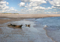 Seehunde am Strand von Helgoland Düne