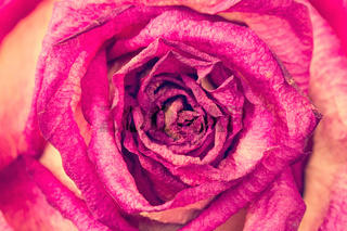 Dried rose background