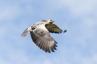 Common Buzzard in flight, Buteo buteo, Maeuse Bussard