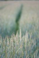 A growing green crop field