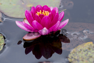 Nymphaea,seerose,wasserrose,Water-lilies,Nymphaea Perry's Baby,
