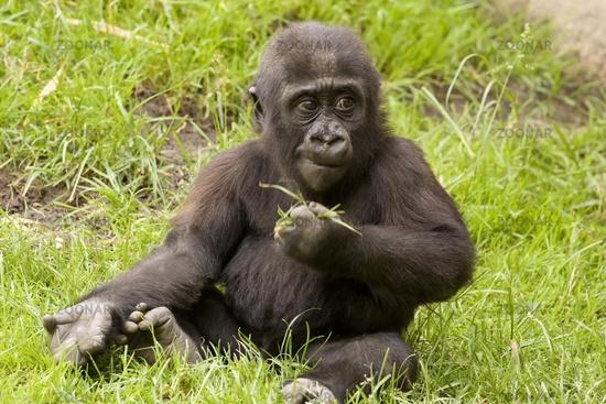 Gorilla, lowland gorilla