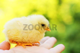 Funny chick on hand