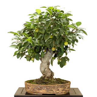 Apfelbaum (Malus) als Bonsai mit Früchten