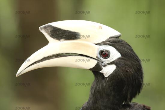 Pied Hornbill, Borneo, Malaysia