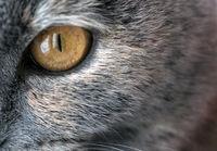 Closeup macro shot of a yellow single cat eye and iris detail. The feline has graceful grey fur in natural light.