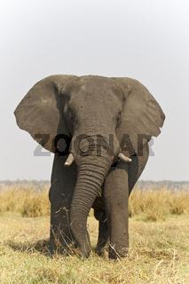 Afrikanischer Elefant (Loxodonta africana), Chobe Fluss, Chobe River, Chobe National Park, Botswana, Afrika, African Elephant, Africa