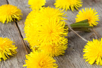 Healing plants - yellow dandelion flowers