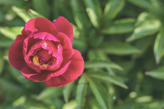 Showy peony flower. Sunny day.