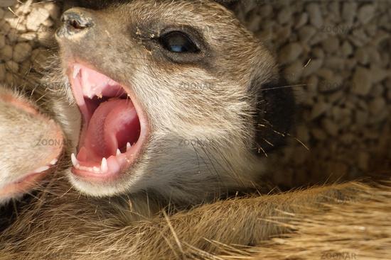 Kopf Erdmännchen mit Gebiss und Zähnen